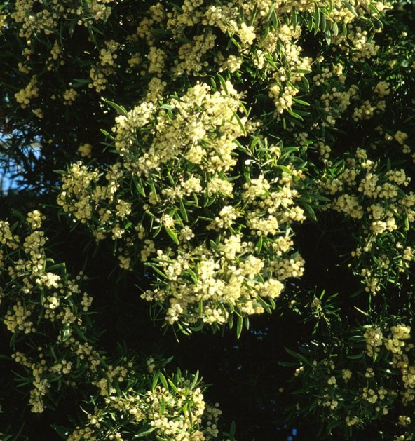 Plant photo of: Acacia melanoxylon