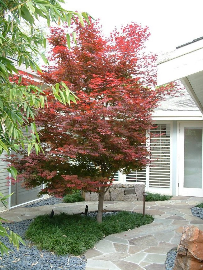 Plant photo of: Acer palmatum 'Bloodgood'